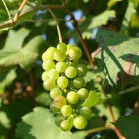 Arneis-Wein - überraschend lebendig