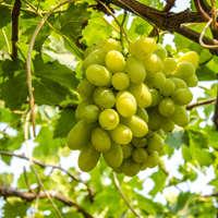 Weicher Auxerrois-Wein