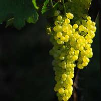 Fruchtiger Chenin Blanc-Wein