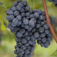 Junger Dolcetto-Wein