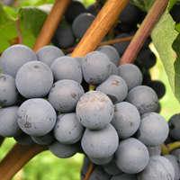 Die besten Dornfelder Weine online bestellen