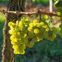 Der beste Wein aus der Pfalz. Günstig online bei uns bestellen!