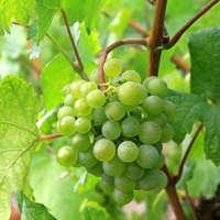 Die besten Grüne-Veltliner-Weine