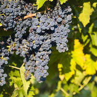 Probieren Sie Montepulciano d'Abruzzo-Weine