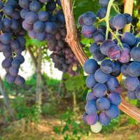 Umwerfende Weine der Negroamaro-Rebe aus Apulien