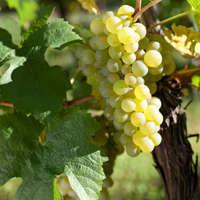 Silvaner Wein