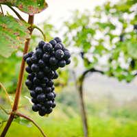 Intensiver Wein der St. Laurent-Rebe aus Deutschland & Österreich