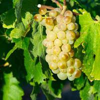 Trebbiano, oder Ugni blanc wird die Rebsorte auch gennant