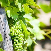 Vielschichtige Weine der Viognier-Rebe von der Rhône