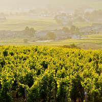 Tolle Burgunder-Weine aus Deutschland bestellen