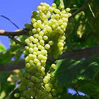 Der beste Bacchus-Wein – von Experten ausgewählt