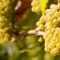 Leckere Chardonnay Weine