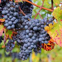 Zinfandel - Wein aus Kalifornien