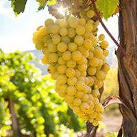 Reduzierte Weißweine