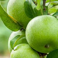Wein & Apfel - Diese Weine duften wie grüne Äpfel