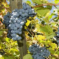 Wundervolle Pinot Noir Weine