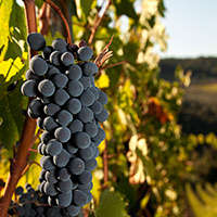 Die besten Chianti Weine zum Bestpreis online bestellen