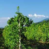 Die leckersten Weine aus Korsika